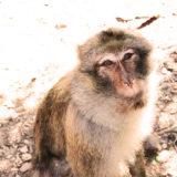 Monos de Azrou en Marruecos